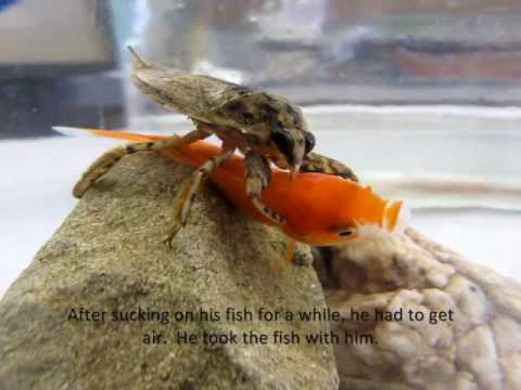 A short educational video of the giant water bug Lethocerus medius eating a goldfish it was offered as food during a college-level Insect Behavior lab on predation. Please note that these insects are predators and they DO eat fish in the wild (along with tadpoles, frogs, snakes, turtles, and occasionally birds), so this video is intended to highlight the natural hunting and feeding strategies of these amazing insects.