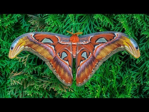 The Film shows the details of the development of one of the largest moths in the world: the hatched larvae from eggs, their various stages of caterpillars, molting, pupating. You can see an adult insect-big moth with a wing span of over 20 cm! Film przedstawia szczegóły rozwoju jednego z największych motyli świata.