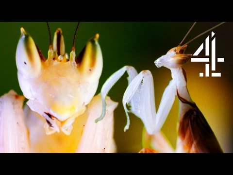 This male praying mantis needs to make a quick escape from the female, unless she's to eat him alive after mating! Watch the episode now on All 4: http://www.channel4.com/programmes/the-secret-life-of-the-zoo
